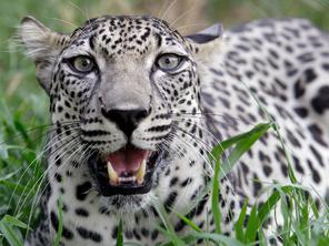 Leopardo arabe