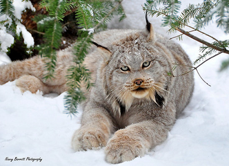 Lince canadiense 3