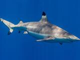 Tiburón de Punta Negra de Arrecife