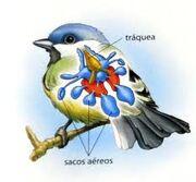 Aparato respiratorio aves