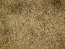 Gazella thomsonii, Tanzania - 20100808