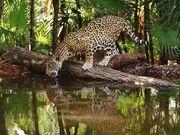 Jaguar tomando agua