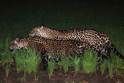 Jaguar macho y hembra