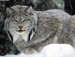 Lince canadiense