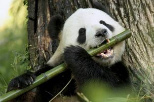 Oso panda 1