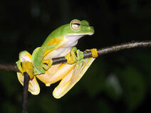 Wallaces-flying-frog 5217a