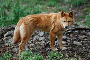 Dingo 1