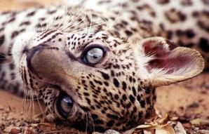 Leopardo arabe 2
