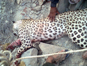 Leopardo indio 13