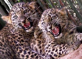 Leopardo indio 4