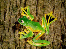 Wallaces-flying-frog-01