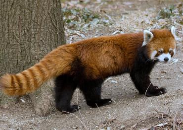 Panda rojo 3