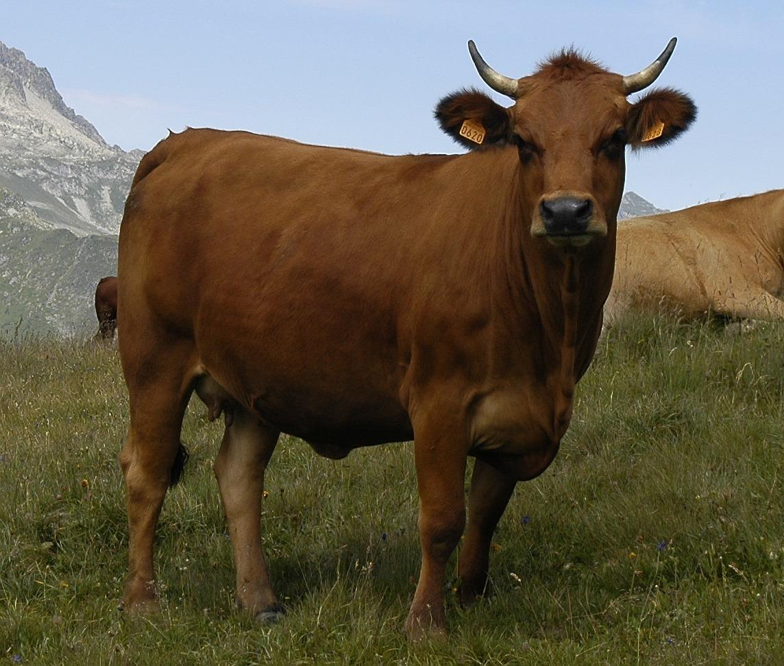 Toro/Vaca | Wiki Reino Animalia | FANDOM powered by Wikia
