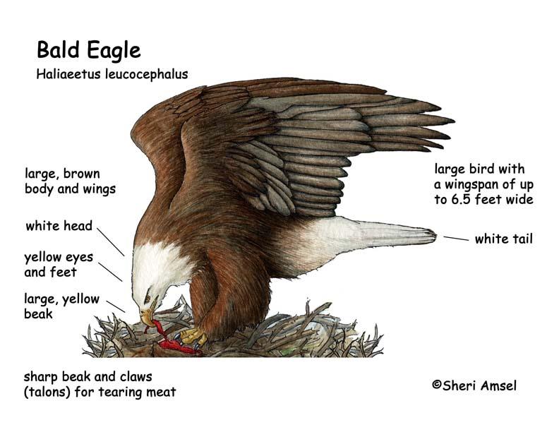 Moderno Anatomía águila Calva Friso - Anatomía de Las Imágenesdel ...