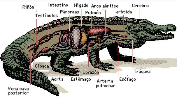 Anatomia de un reptil