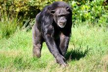 Pan troglodytes in Blair Drummond Safari Park