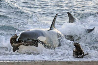 Orca cazando1