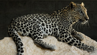 Leopardo arabe 3