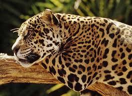 Jaguar acostado1
