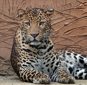 Leopardo de java 6