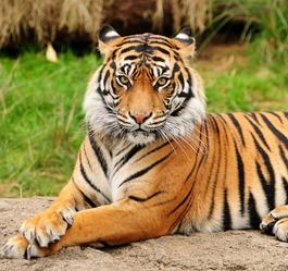 Tigre de bengala wiki