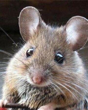 Ratón Casero | Wiki Reino Animalia | Fandom