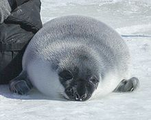220px-Hooded seal crop
