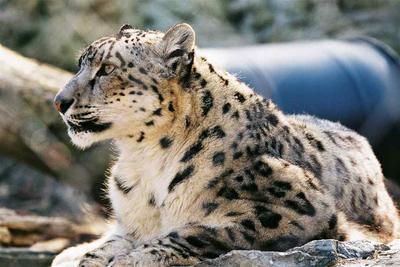 Leopardo de las nieves 1