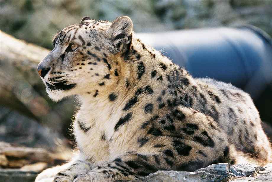 Leopardo de las Nieves | Wiki Reino Animalia | FANDOM powered by Wikia