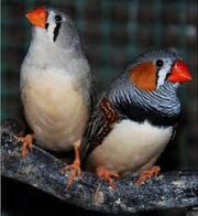 Aves hembra macho
