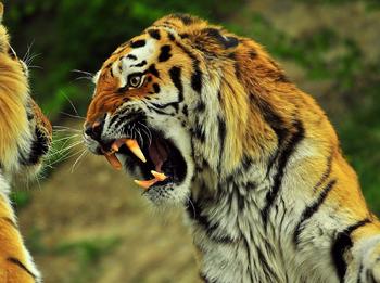 Tigres gruñendo