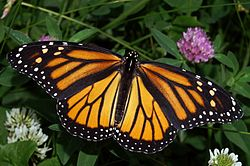250px-Monarch In May