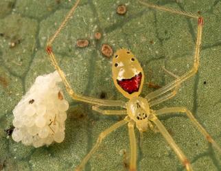 Araña caara feliz