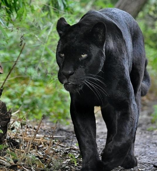 Resultado de imagen de jaguar negro