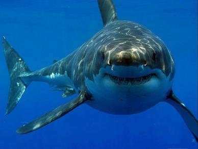Tiburon peces portada