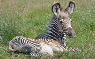 Baby-Grevys-Zebra
