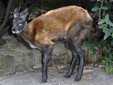 Ciervo almizclero siberiano