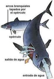 Sistema respiratorio pez