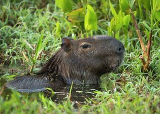 1-capybara-hydrochoerus-hydrochaeris-pete-oxford