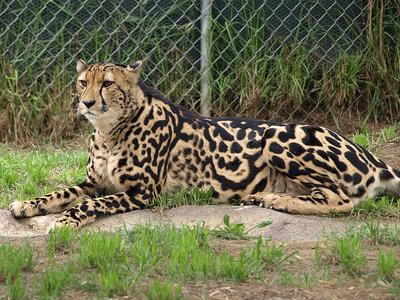Guepardo rey
