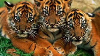 Tigre de sumatra 1