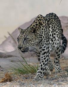 Leopardo arabe 9