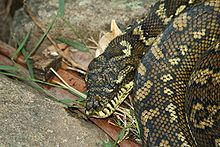 220px-Carpet Python in Lamington National Park, Queensland, Australia