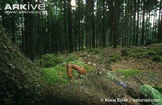 Eliomys quercinus habitat