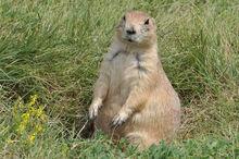 Black-tailed.prairie.dog.c.ludovicianus.wy.crook.11.4.0885