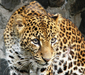 Leopardo de java