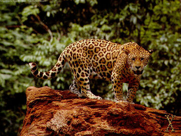 Jaguar en bosque tropical