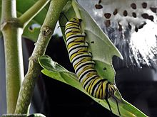 Oruga - Mariposa Monarca (Danaus plexippus)