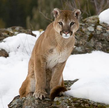 Puma 5
