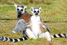220px-Ringtailed lemurs
